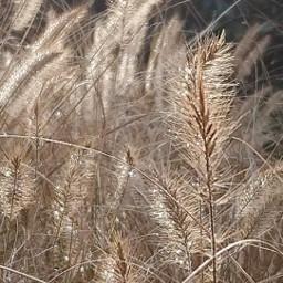 grass autumn dryplant freetoedit