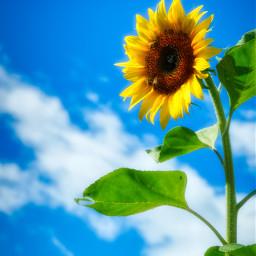 freetoedit photography sunflower sky clouds landscape nature beautifulsky beautifulday summer local
