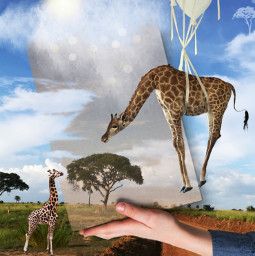 notinchallenge designthebox africa giraffes floatinginthesky balloons imagination myimagination stayinspired create creativity justforfun heypicsart local surreal freetoedit picsart