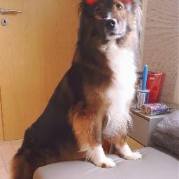 dog mydog lovemydog elodogbreed petsandanimals freetoedit local srctryon tryon