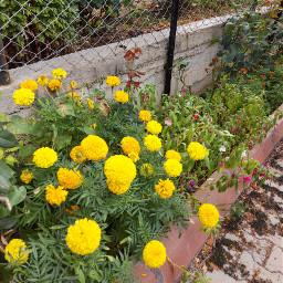flowers flowersforlove yellow yellowflowers freetoedit pcyellowisee yellowisee