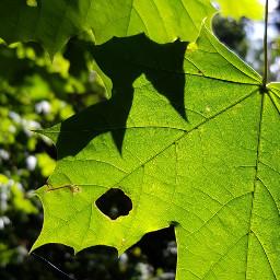 leaf leaves autumn fall nature sunny sunnyday
