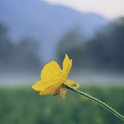 buttercup yellow local