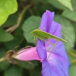 grasshopper violetflower myownphotography freetoedit local