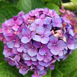 hortensia flower madeira myownphotography freetoedit local