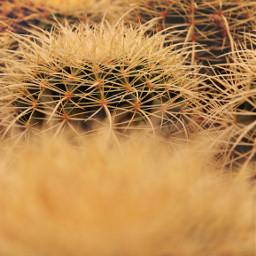 freetoedit nature plants cactusandsucculents cactus cactuslover spikes thorns garden warmgoldenlight lowangleshot upclose foregroundblur middlegroundinfocus depthoffield naturephotography