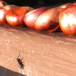 käfer kastanien