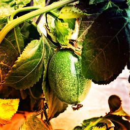 passionfruit fruit