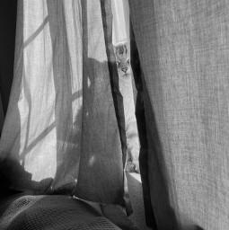 blackandwhite picsart cat curtains pcblackandwhite