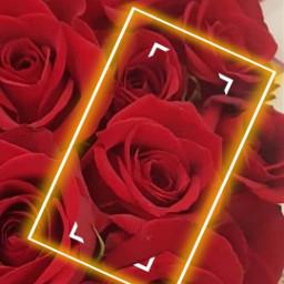 flowers flores roses rosas freetoedit local srcyellowfocusframe yellowfocusframe