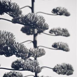 freetoedit nature cactustrees beautyinnature focusontheforeground depthoffield pcblackandwhite monochrome blackandwhite natureshot blackandwhitephotography